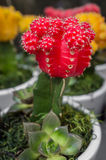 Red Moon Cactus Royalty Free Stock Photos