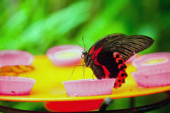 The Red Mormon butterfly feeding Stock Photography