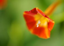 Red Morning Glory Stock Image