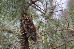 Red Morph Eastern Screech Owl stock photos