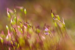 Red moss Tortula muralis closeup.  royalty free stock photography