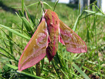 Red moth Stock Photos