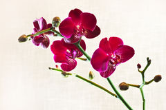 Red Moth Orchid or Phalaenopsis. Branch Red Moth Orchid or Phalaenopsis flowers with out of focus fabric background Royalty Free Stock Image