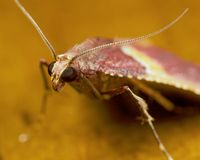 Red moth Stock Image