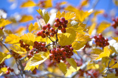 The red Mountain ash Royalty Free Stock Image