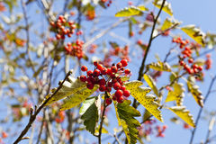 Red mountain ash in the autumn Stock Image