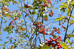 Red mountain ash in the autumn Stock Photography