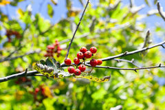 Red mountain ash in the autumn Royalty Free Stock Photos