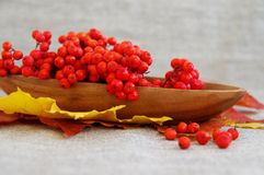 Red mountain ash on autumn leaves Stock Photo