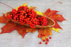 Red mountain ash on autumn leaves Royalty Free Stock Image