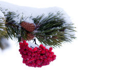 Red mountain ash berries Christmas tree ornament Stock Image