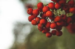Red mountain ash on a branch, macro photo with selective focus.autumnal colorful red rowan branch. red ripe rowan berry branch. Bunch of orange ashberry royalty free stock photo