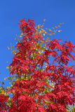 Red mountain ash in the fall Royalty Free Stock Photography