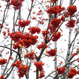 Red mountain ash. Rowan tree berry close up Stock Photo