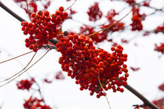 Red mountain ash. Rowan tree berry close up Royalty Free Stock Images