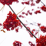 Red mountain ash. Rowan tree berry close up Royalty Free Stock Photography