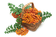 Red mountain ash in a wicker basket on a white background Royalty Free Stock Image