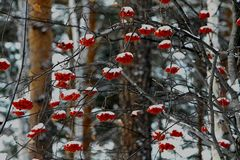 Red mountain ash in the winter forest stock images