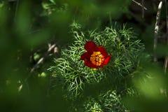 Red mountain peonies (Paeonia tenuifolia) at Zau de Campie Stock Image