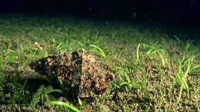 Red-mouthed frog shell Tutufa rubeta in the night on the sand in Zulu sea Dumaguete. Philippines stock video footage