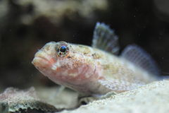 Red-mouthed goby Stock Photography