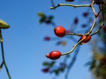 Red mouths, the ripe fruit of the dog rose royalty free stock photo