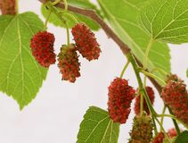 Red mulberries Royalty Free Stock Images
