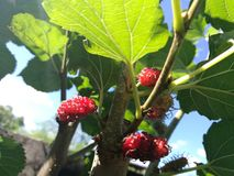 Red Mulberry. Red Burberry on the tree before harvesting that& x27;s high nutrients from nature Royalty Free Stock Images