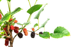 Red Mulberry fruit on tree Stock Photography