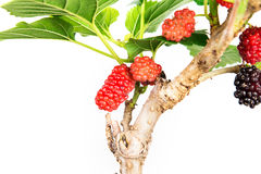 Red Mulberry fruit on tree Stock Images