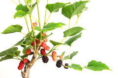 Red Mulberry fruit on tree Royalty Free Stock Image