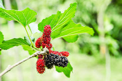 Red mulberry fruit on tree. Stock Photos