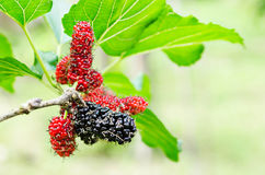 Red mulberry fruit on tree in farm. Royalty Free Stock Photography