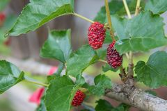 Red mulberry fruit on tree mulberry. In the garden stock image