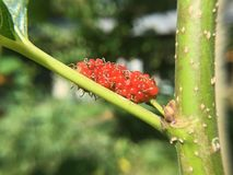 Red mulberry royalty free stock photography