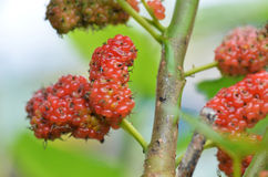 Red mulberry on the tree. In the farm stock photography