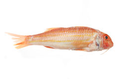 Red Mullet fish. Isolated on a white background Stock Photo