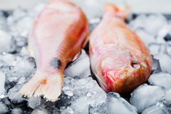 Red mullet fish on ice cubes Black stone board. Red mullet fish on a an ice cubes on a black stone board Royalty Free Stock Photo