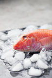 Red mullet fish on ice cubes Black stone board Stock Images