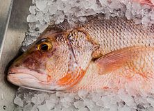 Red mullet fish on a an ice cubes stock images