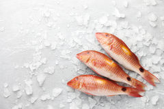 Red mullet fish on icy background Royalty Free Stock Images