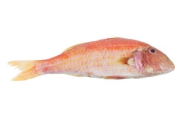 Red mullet fish isolated Stock Photos