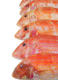 Red mullet fish isolated Stock Photography