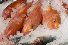 Red mullet on fishmonger's slab. Fresh red mullet (goat fish) on ice on fishmonger's slab Royalty Free Stock Photos
