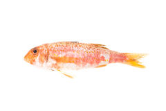Red Mullet mediterranean fish. Raw food. Red Mullet typical mediterranean seafood. Raw food for italian gourmet recipe Triglie alla Livornese Royalty Free Stock Images