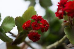 Red multi-leaf Kalanchoe, home flowering plant, flowerpot, macro.  royalty free stock images