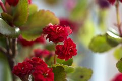 Red multi-leaf Kalanchoe, home flowering plant, flowerpot, macro.  royalty free stock image