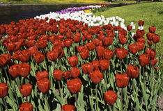 Red and multicolored tulips Royalty Free Stock Photos