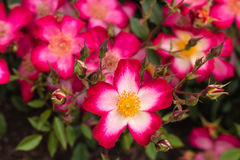 Red multiflora rose in bloom Stock Photography