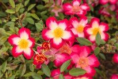 Red multiflora rose in bloom Royalty Free Stock Image